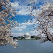 Today in History: Cherry Blossoms