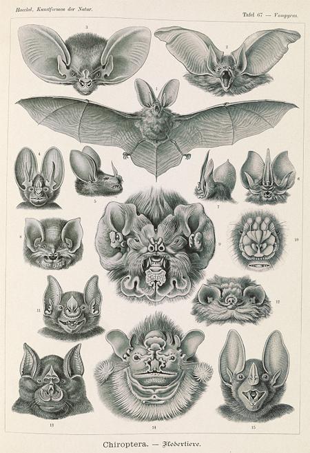 Chiroptera - Fledertiere