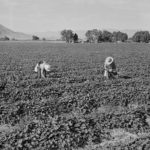 Cantaloupe workers