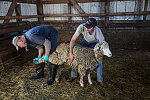 Veterinarian Karl Solverson, left, examines, and farmer Ryan Dunnum restrains, a sheep with foot trouble