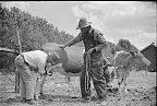 Veterinarian examining cow